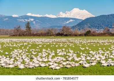 Snow geese (Anser caerulescens) feeding in a farm field on Fir Island, Skagit County, Washington, with Mount Baker in the background, photographed against a blue sky.