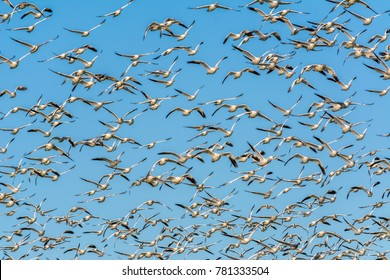 Snow geese (Anser caerulescens) flying above a farm field on Fir Island, Skagit County, Washington, photographed against a blue sky.