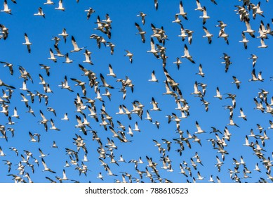 Snow geese (Anser caerulescens) flying to the left over a farm field on Fir Island, Skagit County, Washington, photographed in early winter against a clear blue sky.
