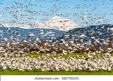 Snow geese (Anser caerulescens) landing in a farm field on Fir Island, Skagit County, Washington, with Mount Baker in the background, photographed against a blue sky.