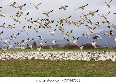 Snow geese (Chen caerulescens) gather in large numbers on Fir Island in Skagit county every winter from as far away as Siberia and the Arctic