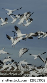 Snow Geese (Chen caerulescens) wintering in the Sacramento National Wildlife Refuge in Central California.