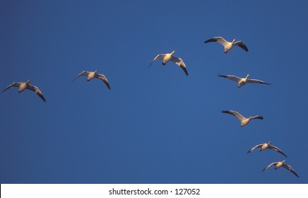 """Snow Geese in classic """"V"""" formation"""