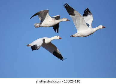 Snow geese  in flight with a blue sky background