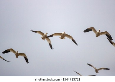 Snow Geese fly over Pennsylvania farmland during the Spring migration.