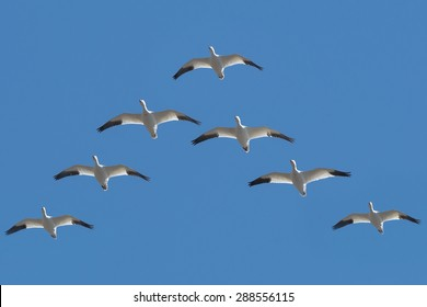 Snow Geese flying in a V formation across the blue sky.