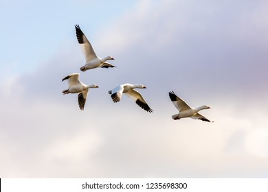 Snow geese gathering in Victoriaville on the Beaudet reservoir preparing for their fall migration, eastern Quebec, Canada.