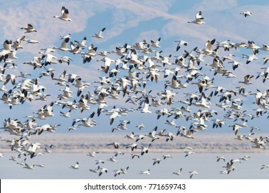 Snow Geese in large take off at Honey Lake, California.  Blast off!