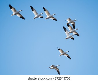 Snow Geese Migrating North in Spring on Blue Sky