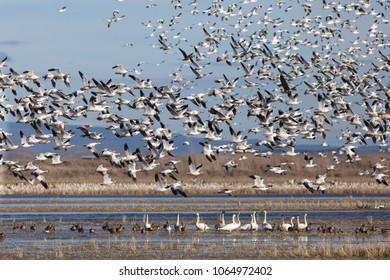 Snow geese migration in the Klamath Basin National Wildlife Refuge. Oregon, Merrill, Winter