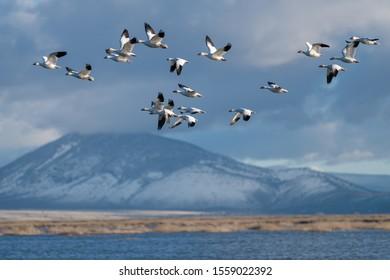 Snow Geese Migration. Oregon, Merrill, Lower Klamath National Wildlife Refuge. Spring
