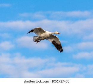 Snow goose (Anser caerulescens) flying against a partly cloudy sky photographed on the last day of winter from Fir Island Farms Reserve, Skagit County, Washington.
