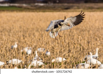 Snow goose (Anser caerulescens) landing in a farm field with last year's corn stubble on the last day of winter at Fir Island Farms Reserve, Skagit County, Washington.