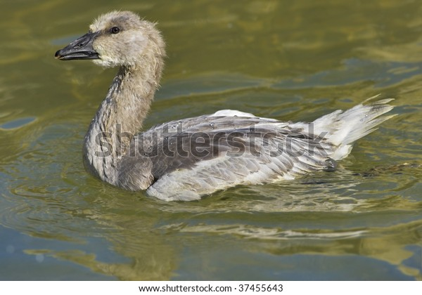 Snow goose, chick. Chen caerulescens.