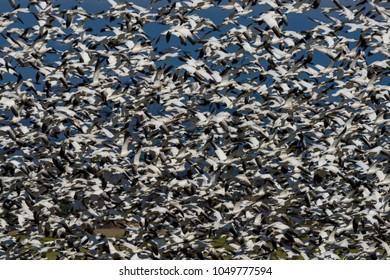 Snow Goose Colony