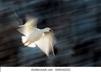 A Snow Goose in flight with its wings and the background blurred as it glows from the bright sun.