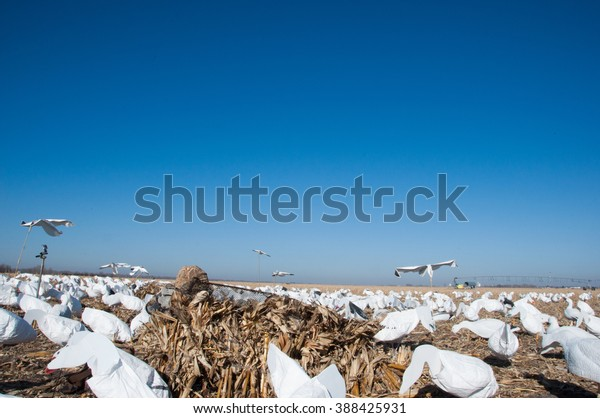 6aa1157126a9e Snow Goose Hunting Blinds Stock Photo (Edit Now) 388425931