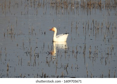 Snow goose swimming around in the wetland, waters of the Colusa National Wildlife Refuge, in the Sacramento Valley of north-central California.