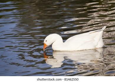 Snow goose swimming in the lake. Farm bird