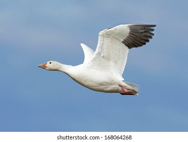 A snow goose wings across the blue sky and into the sunlight