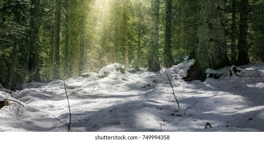 Snow in a green forest with sunlight shining through the trees