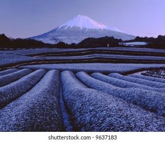 Snow green tea fields at the foot of Mt. Fuji
