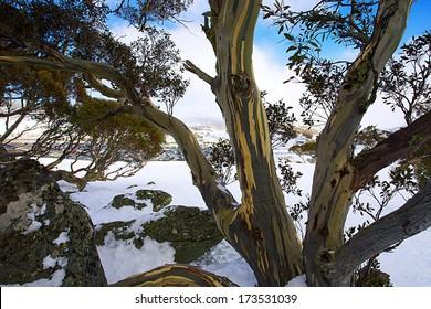 Snow gum at Perisher Blue in Australia