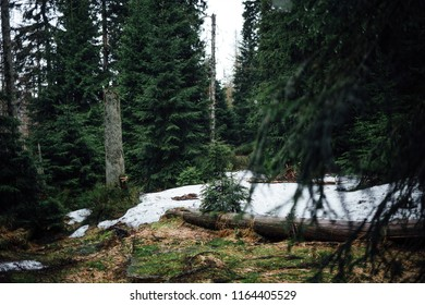 Snow holes in the coniferous forest