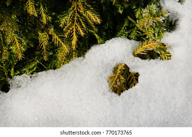 snow and juniper, closeup