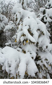 snow laden tree in garden closeup with yellow flowers of gorse