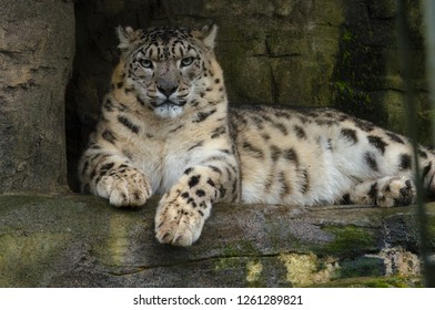 A snow leapard leans on a rock