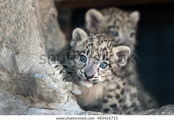 Portrait de bébé léopard des neiges
