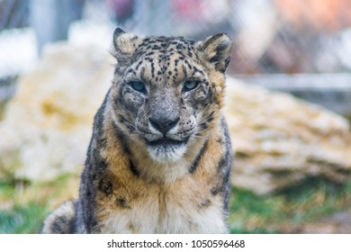 Snow leopard with beautiful eyes, brown fur and powerful look. Vulnerable species in captivity at the zoo.