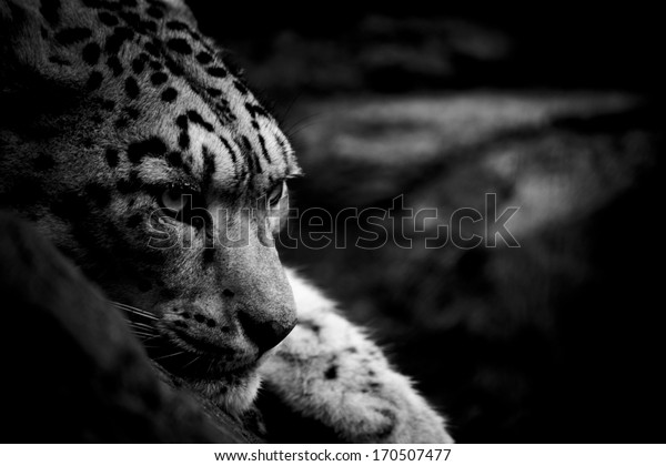 Snow Leopard in Black and White
