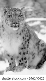 Snow leopard in black and white on blur background