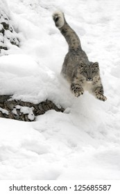 A Snow Leopard in Chase in the snow