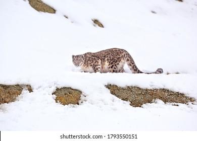 Snow Leopard close-up at Hemis National Park