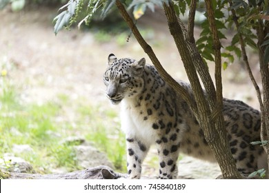 A snow leopard couple. The snow leopard or ounce (Panthera uncia)