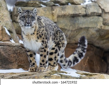 Snow leopard in the snow covered mountains