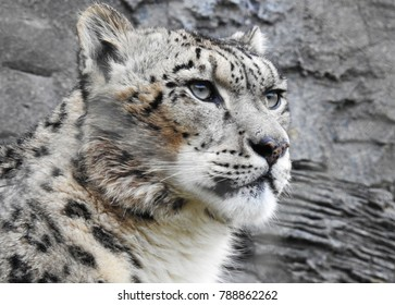 Snow Leopard Face and Head