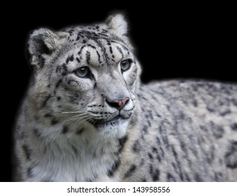 Snow leopard female, isolated on black background