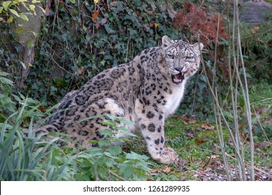 A snow leopard grooms and stalks its territory
