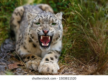 Snow Leopard growls menacingly and wants to attack
