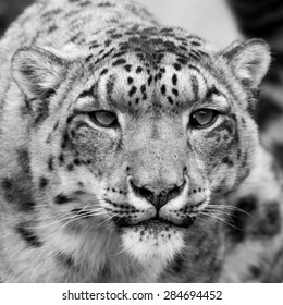Snow Leopard head shot, close up black and white.