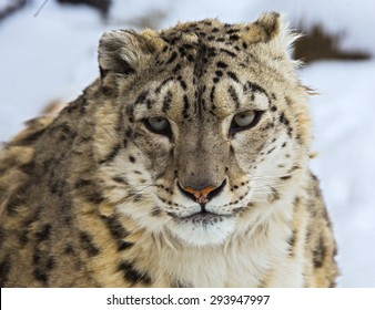 snow leopard, irbis