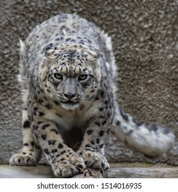The snow leopard is a large predatory mammal of the cat family living in the mountains of Central Asia.