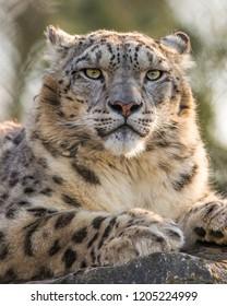 Snow leopard. Latin name - Uncia uncia