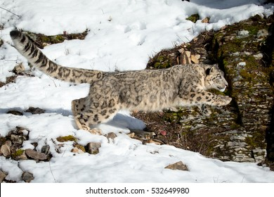 snow leopard leaping onto rocks from snow