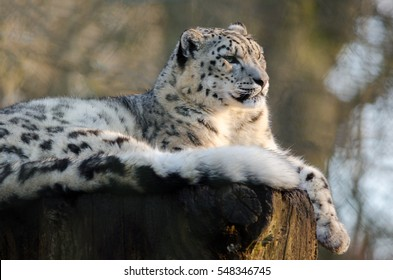 A Snow Leopard lies on a tree stump