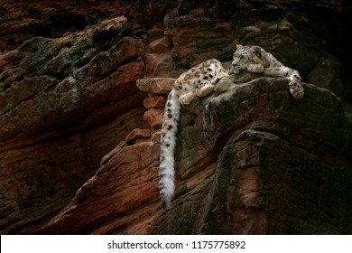 Snow leopard with long tail in the daRK rock mountain, Hemis National Park, Kashmir, India. Wildlife scene from Asia. Beautiful big cat, Panthera uncia, in the habitat. Wildlife scene from nature.